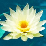 Yoga Teacher Retreat - Lotus Flower