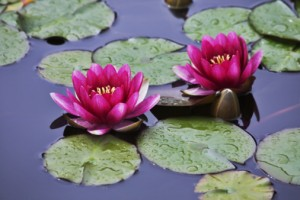 Yoga Teacher Retreat - Pond with the blossoming pink lilies