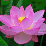 Lotus flower in summer